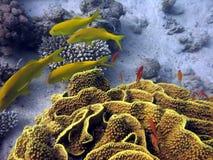 Corail et poissons jaunes Photo libre de droits