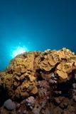 Corail feuillu de cuvette (reniformis de Turbinaria) Photos libres de droits