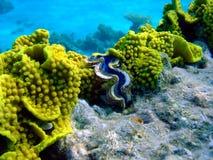 Corail jaune Photographie stock libre de droits