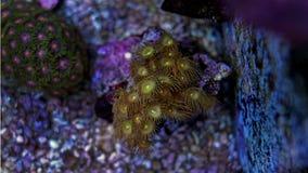 Corail jaune de parazoanthus de polype Photographie stock