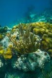 Corail jaune de tube Image libre de droits