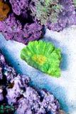 Corail jaune vert de Pectinia Photos libres de droits