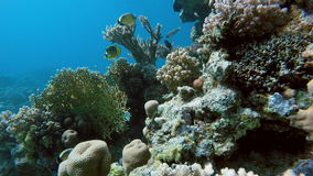 Corail, mer, récif coralien banque de vidéos