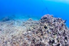 Corail mort Photos stock