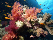 Corail mou Photographie stock