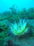 Corail mou Photo libre de droits