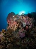 Corail mou Photos libres de droits