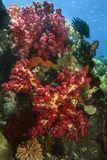 corail mou image stock
