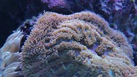 Corail mou de bulle-astuce de sinuosa de Plerogyra dans le réservoir banque de vidéos