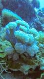 Corail mou de couleur légèrement bleue Rentr? le sauvage, aucun aquarium Roche en place de corail envahie dense Dur?e sous-marine image stock