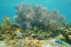 Corail mou de la vie de plume sous-marine de mer avec des poissons Photos libres de droits