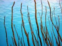 Corail mou de Rod de mer Photo libre de droits