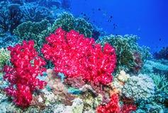 Corail mou outre de la côte de Tavueni Fidji photographie stock