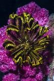 Corail mou rose et featherstar jaune noir Image libre de droits