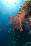 Corail mou vibrant photo stock