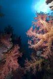 Corail mou vibrant photo libre de droits