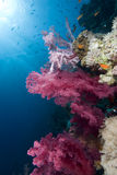 Corail mou vibrant images stock