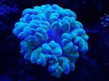 corail mou vivant dans l'aquarium d'eau salée Photographie stock libre de droits