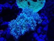corail mou vivant dans l'aquarium d'eau salée Image libre de droits