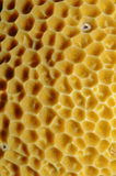 Corail orange de cuvette, elegans de Balanophyllia Image libre de droits