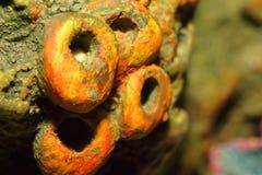 Corail orange de tube photographie stock