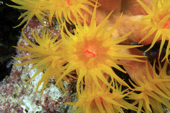Corail orange du soleil Photographie stock