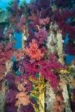 Corail pourpré vibrant de broccoli Photographie stock libre de droits