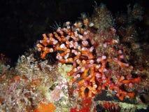 Corail rouge images libres de droits