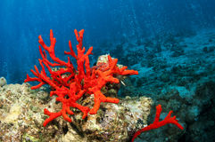 Corail rouge Image stock