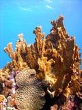 Corail sain d'incendie images libres de droits