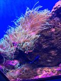 Corail sous-marin avec des poissons de clown Image libre de droits