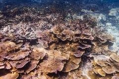 Corail spined par amende (hispida de Montipora) Images libres de droits