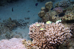 corail tropical Photo stock