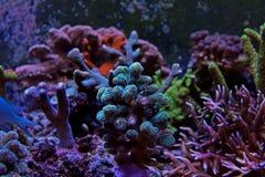 Corail vert de SPS de Stylopora Photographie stock libre de droits