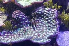 Corail violet avec le monde sous-marin de poissons violets Photographie stock