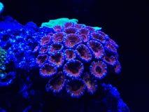 corail vivant dans l'aquarium d'eau salée Photo stock