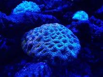 corail vivant dans l'aquarium d'eau salée Photo libre de droits