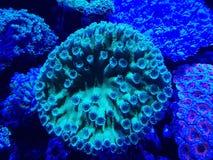 corail vivant dans l'aquarium d'eau salée Image libre de droits