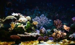 Corais Fotografia de Stock Royalty Free
