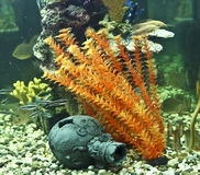 Corais, algas e jarro, aquário foto de stock royalty free