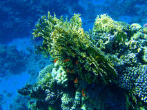 Corais coloridos Imagens de Stock