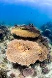 Corais da tabela em um recife raso fotos de stock