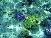 Corais do Mar Vermelho Imagem de Stock