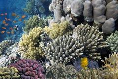 Corais duros e peixes tropicais no Mar Vermelho Foto de Stock Royalty Free