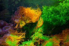 Corais e algas do mar no aquário iluminado imagem de stock royalty free
