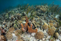 Corais e esponjas no prado do plâncton vegetal em Indonésia Imagem de Stock Royalty Free