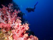 Corais e mergulhador macios cor-de-rosa brilhantes no azul imagens de stock royalty free