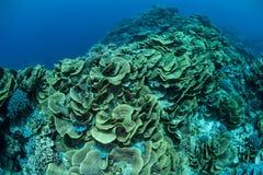 Corais Foliose frágeis em Micronésia imagens de stock