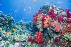 Corais macios de Dendronephthya Foto de Stock Royalty Free