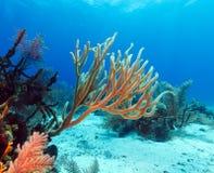 Corais macios perto do Largo de Cayo, Cuba Foto de Stock